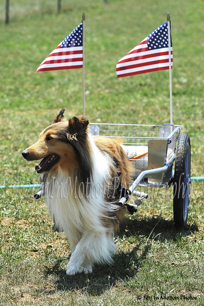 Cordell, from Maryland, as Mr. Patriotism cheerfully pulling his medium size  Custom Dog Cart. photo by In Motion Photos