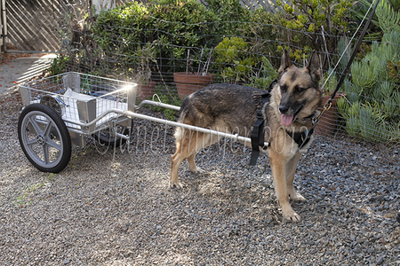 Cora, a German Shepherd from Alaska, nicely