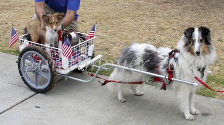 Checkmate It's a Cloudy Day, HCT, JHD, HTAD-Is, HT, PT with a puppy in a cart