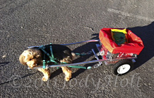 Mylo, a 10# Yorkshire Terrier, pulls his small Custom Dog Cart, in Las Vegas, NV