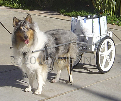 "Bailey, a Collie from Poway, California proudly carries produce from the Farmer's Market for his owner. His is  a large cart with 20""wheels."