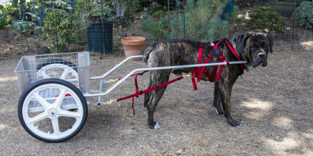 Goroth, a Mastiff, is pulling an extra large cart;